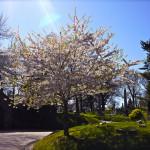 Greenwood, Sunset Park, Cherry Blossoms, Sunset Park, NYC Neighborhood, NYC Park