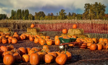 Pumpkin Patch, corn maze