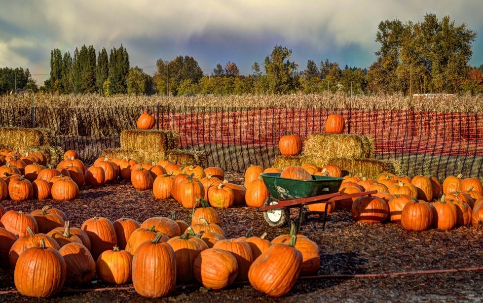 Pumpkin Patch, corn maze