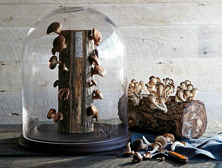 Oyster Mushroom Log, Williams-Sonoma