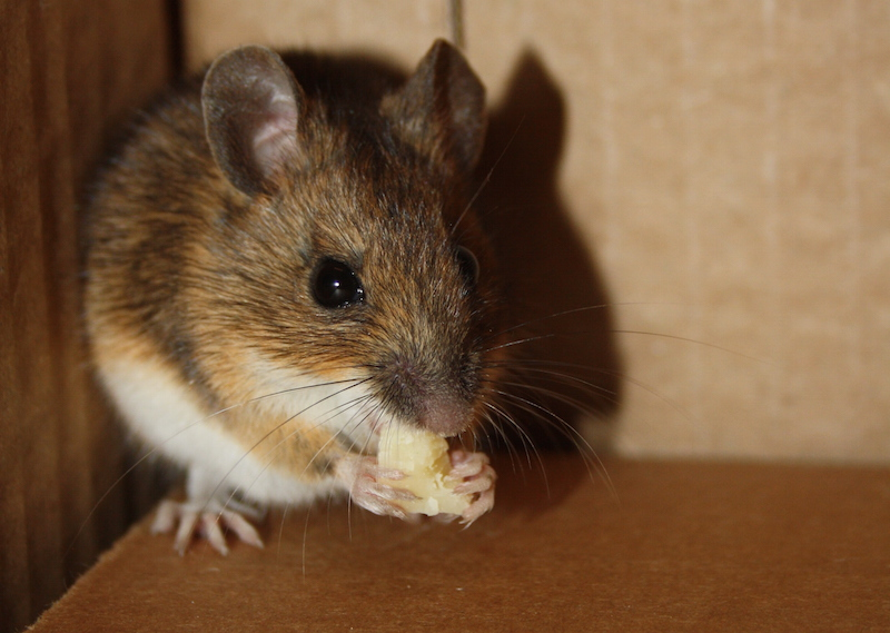 mouse, cheese, crown heights, brooklyn, crown finish