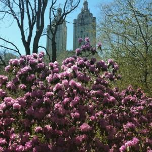 #centralpark #springtime #sanremo #upperwestside #nyc