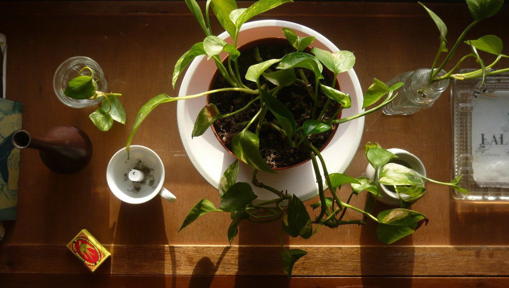 pathos, apartment plants,air purifying plants, air cleaning plants