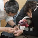 Wild Bird Fund, wild turkey