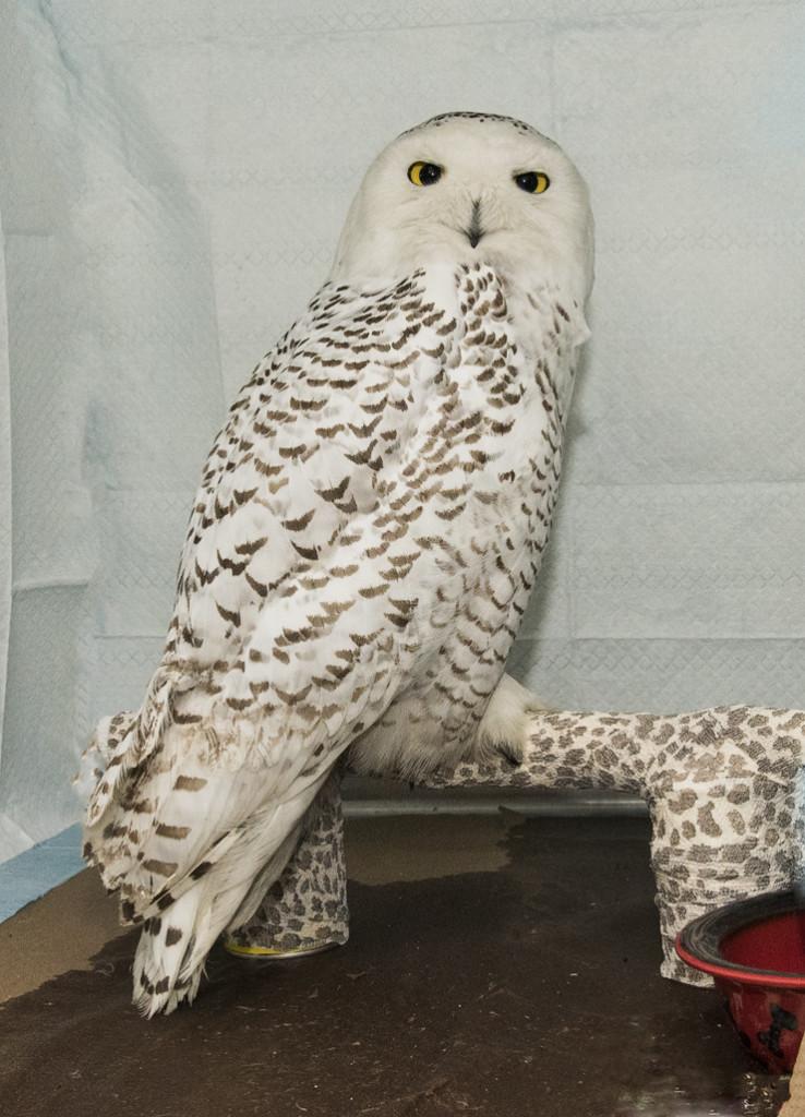AYB_7001 Hedwig the Snowy Owl