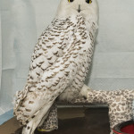 Wild Bird Fund, Snowy Owl