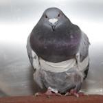 Wild Bird Fund, injured pigeon