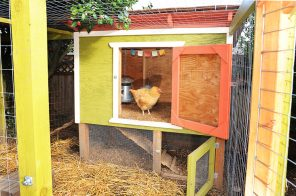 Raising chickens in NYC: Laws, tips, and everything else you need to know